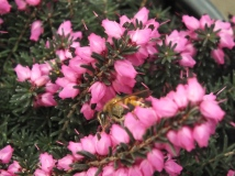Bee exploring the heather