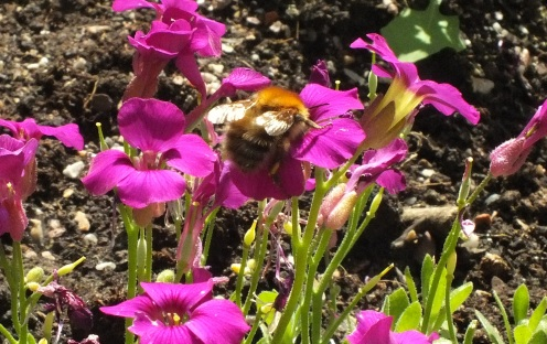 Bee on aubretia