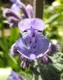 Nepeta racemosa closeup