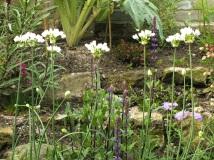 Alium roseum