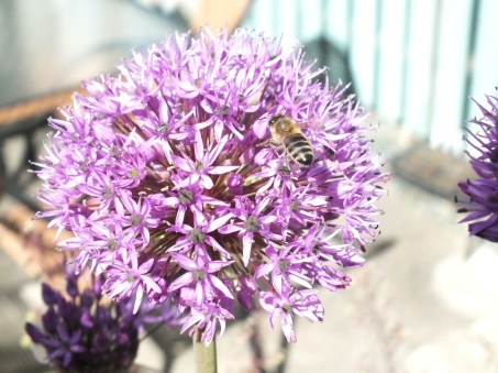 A bee enjoys the Alium
