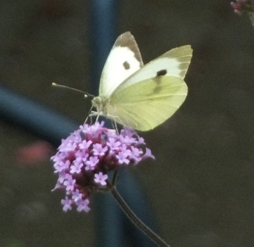 Butterfly on the Verbena