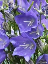 Campanula persicifolia 'Blue' in close-up