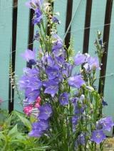 Campanula persicifolia 'Blue'