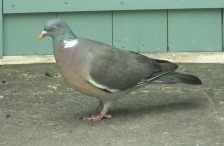 Colour-coordinated wood pigeon