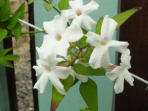 Jasmine 'Officinale' in close-up