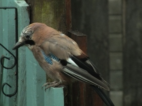 Jay surveying the garden