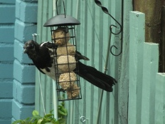 Magpie helping himself