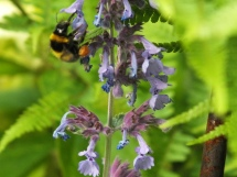 Nepeta racemosa complete with bee