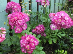 Rose 'Perennial Blue'