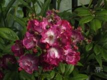 Rose 'Pernnial Blue' in full flower