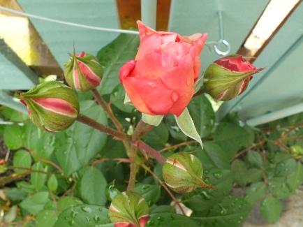 Rose 'Shropshire Lad' in bud