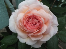 Rose 'Shropshire Lad'