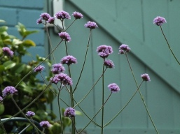 Verbena against the gate