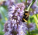 Bee on Agastache