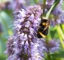 Bee on Agastache