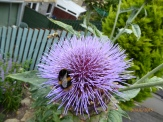 Bees on cardoon