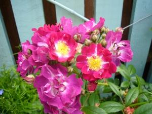 Perennial Blue second flowering