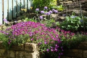 New Scabious behind my flourishing aubretia
