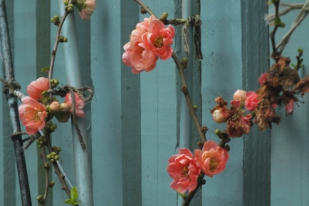 Striking Japanese Quince